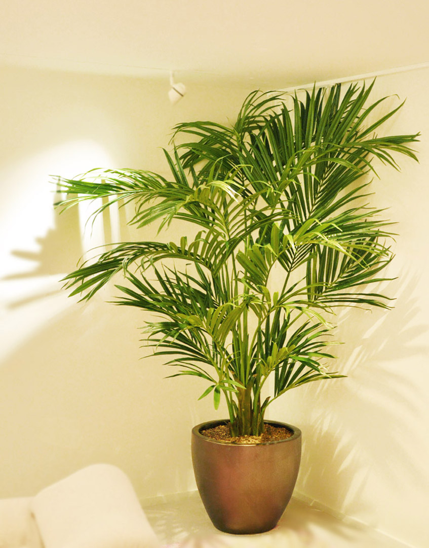 706 fake landscapes 210cm dl Kentia palm in clients pot