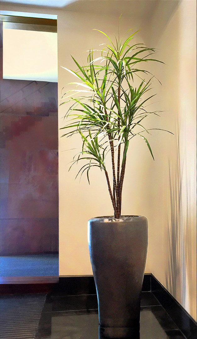 711 fake landscapes fine leaf dracaena 160cm in 40cm planter